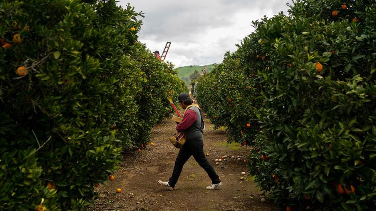 citrus greening research uc davis
